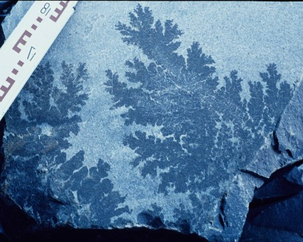 Figure 30 - Manganese dendritic growths on a quartzite bedding plane (Peninsula Quarry, Cape Peninsula, South Africa).