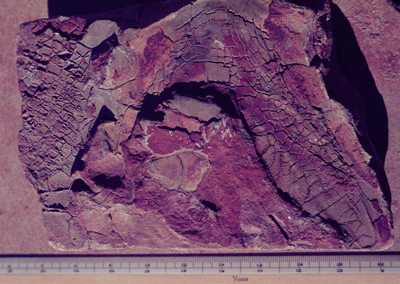 figure 111 - Cast of consolidated mud cracks in mudstone (Transvaal, S. Africa).